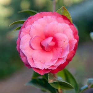 Camellia - Black Lace