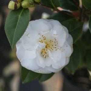 Camellia japonica Bea Rogers