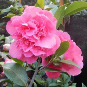 camellia x williamsii anticipation
