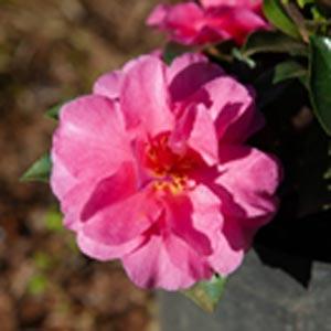Camellia sasanqua Bonanza
