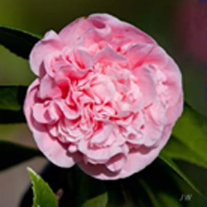 Camellia japonica Debutante