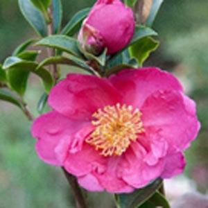 Camellia sasanqu Nancy van Heerden