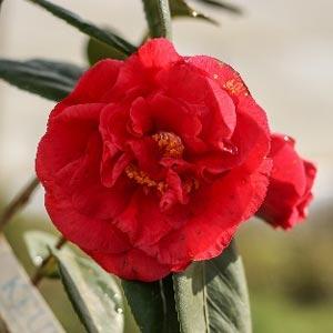 Camellia Gulio Nuccio to buy