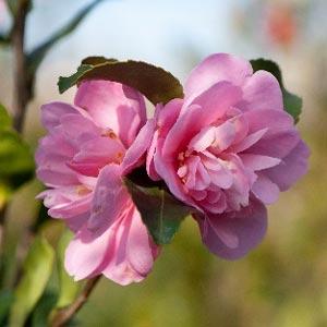 camellia sasqanda henrietta for sale