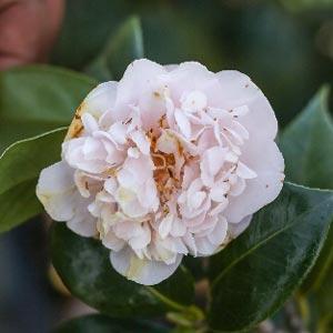 Camellia japonica Kewpie Doll