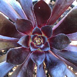 Aeonium swartkop black rose